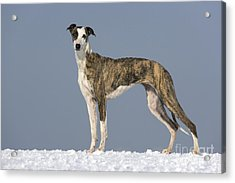 Hungarian Greyhound Acrylic Print by Jean-Louis Klein & Marie-Luce Hubert