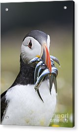 Hungry Puffin Acrylic Print by Tim Gainey