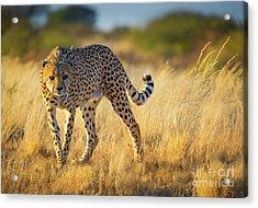 Hunting Cheetah Acrylic Print by Inge Johnsson