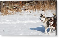 Huskies In Heaven Acrylic Print by Peter  McIntosh