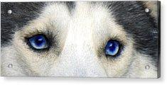 Husky Eyes Acrylic Print by Jane Schnetlage