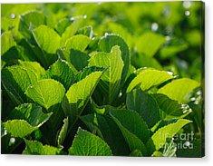 Hydrangea Foliage Acrylic Print by Gaspar Avila