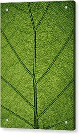 Hydrangea Leaf Acrylic Print by Steve Gadomski