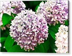 Hydrangea Purple Acrylic Print by Ryan Kelly