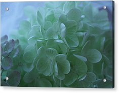 Hydrangea Repose Acrylic Print by Nancy TeWinkel Lauren