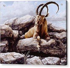 Ibex Acrylic Print by Steve Goad
