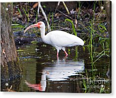 Ibis Drink Acrylic Print by Mike Dawson