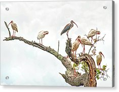 Ibis Gathering Acrylic Print by Donnie Smith