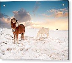 Icelandic Horses On Winter Day Acrylic Print by Ingólfur Bjargmundsson