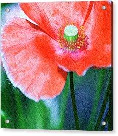 Icelandic Poppy Acrylic Print by Bonnie Bruno