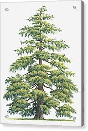 Illustration Of Evergreen Cedrus Deodara (deodar Cedar, Himalayan Cedar Tree Acrylic Print by Sue Oldfield