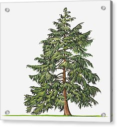 Illustration Of Evergreen Tsuga Canadensis (eastern Hemlock, Canadian Hemlock) Tree Acrylic Print by Sue Oldfield