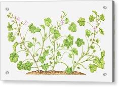 Illustration Of Malva Neglecta (dwarf Mallow), Wildflowers Acrylic Print by Tricia Newell