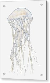 Illustration Of Sand Jellyfish (rhopilema Sp) Acrylic Print by Dorling Kindersley