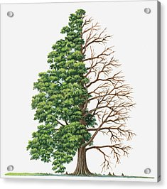 Illustration Showing Shape Of Deciduous Taxodium Distichum (bald-cypress, Swamp Cypress) Tree With Green Summer Foliage And Bare Winter Branches Acrylic Print by Sue Oldfield