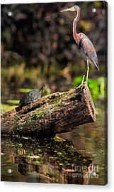 Immature Tri-colored Heron And Peninsula Cooter Turtle Acrylic Print by Matt Suess