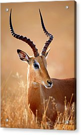 Impala Male Portrait Acrylic Print by Johan Swanepoel