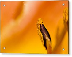 In A Daylily Acrylic Print by Ches Black