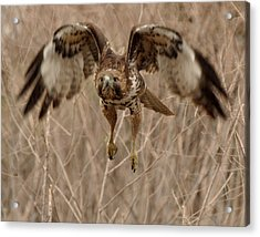 Inbound Red Tail Hawk Acrylic Print by Matt MacMillan