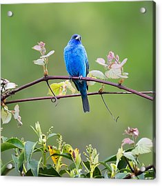 Indigo Bunting Perched Square Acrylic Print by Bill Wakeley