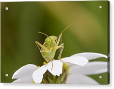 Insect Acrylic Print by Andre Goncalves