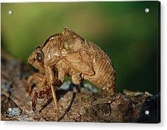 Iowa Cicada Acrylic Print by Jame Hayes