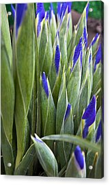 Iris Buds Acrylic Print by Dina Calvarese