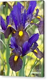Iris Eye Of The Tiger Acrylic Print by Tim Gainey