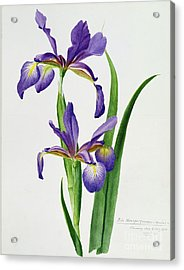 Iris Monspur Acrylic Print by Anonymous