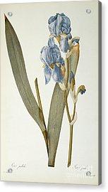 Iris Pallida Acrylic Print by Pierre Joseph Redoute