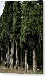 Italian Cypress Trees Line A Road Acrylic Print by Todd Gipstein