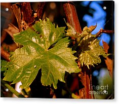 Ivy Leaf Acrylic Print by Michael Canning