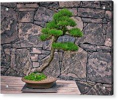 Japanese Black Pine Bonsai Acrylic Print by Steven Ralser