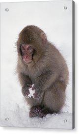 Japanese Macaque Macaca Fuscata Baby Acrylic Print by Konrad Wothe