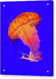 Jelly Fish Acrylic Print by Davidhuiphoto