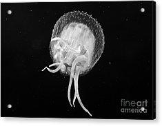 Jellyfish - Bw Acrylic Print by Dave Fleetham - Printscapes