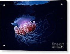 Jellyfish Acrylic Print by Steve Rosenberg - Printscapes