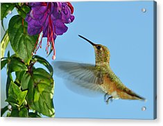 Jeweled Rufous In Afternoon Light Acrylic Print by Laura Mountainspring