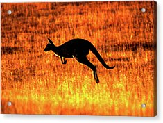 Kangaroo Sunset Acrylic Print by Bruce J Robinson