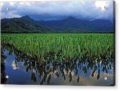 Kauai Taro Field Acrylic Print by Kathy Yates