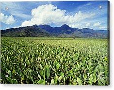 Kauai, Wet Taro Farm Acrylic Print by Bob Abraham - Printscapes