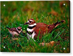 Killdeer And Young Acrylic Print by Denny Bingaman
