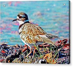 Killdeer  Acrylic Print by Ken Everett