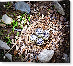Killdeer Nest Acrylic Print by Cricket Hackmann