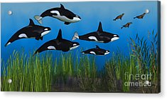 Killer Whale Pod Acrylic Print by Corey Ford