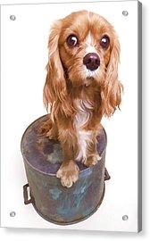 King Charles Spaniel Puppy Acrylic Print by Edward Fielding