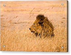 King Of The Pride Acrylic Print by Adam Romanowicz