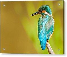 Kingfisher Acrylic Print by Paul Neville