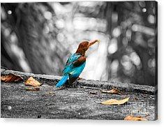 Kingfisher Acrylic Print by Venura Herath