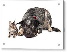 Kitten Annoying Patient Dog Acrylic Print by Susan Schmitz